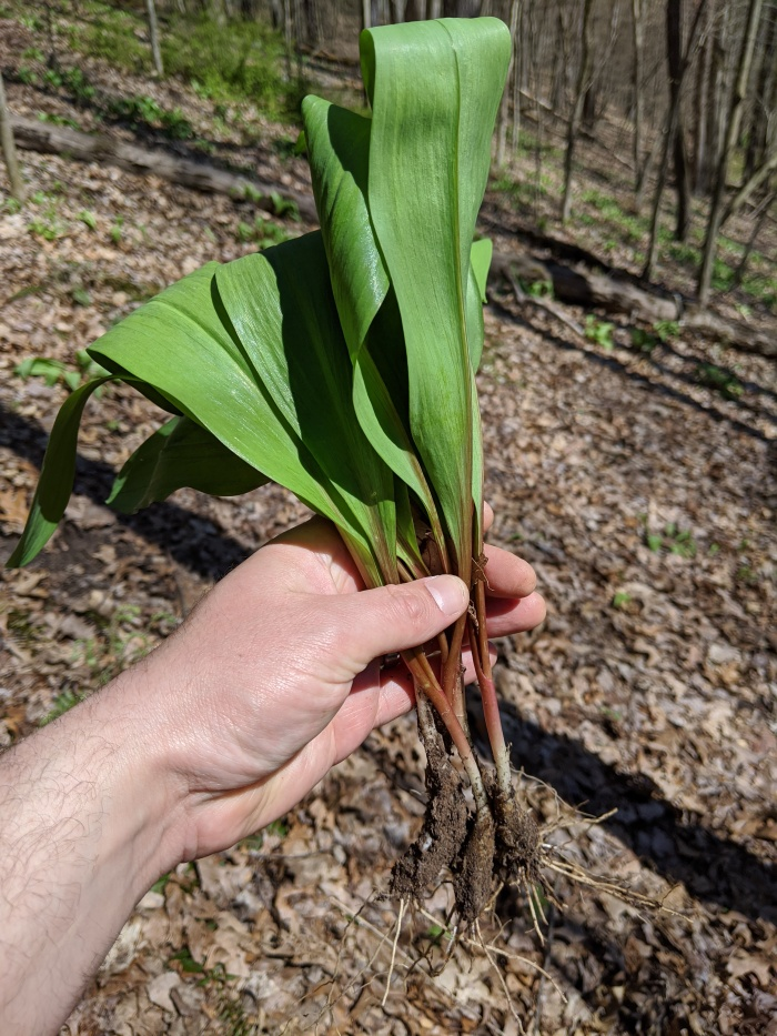 Forage Ramps in the Woods of Western New York